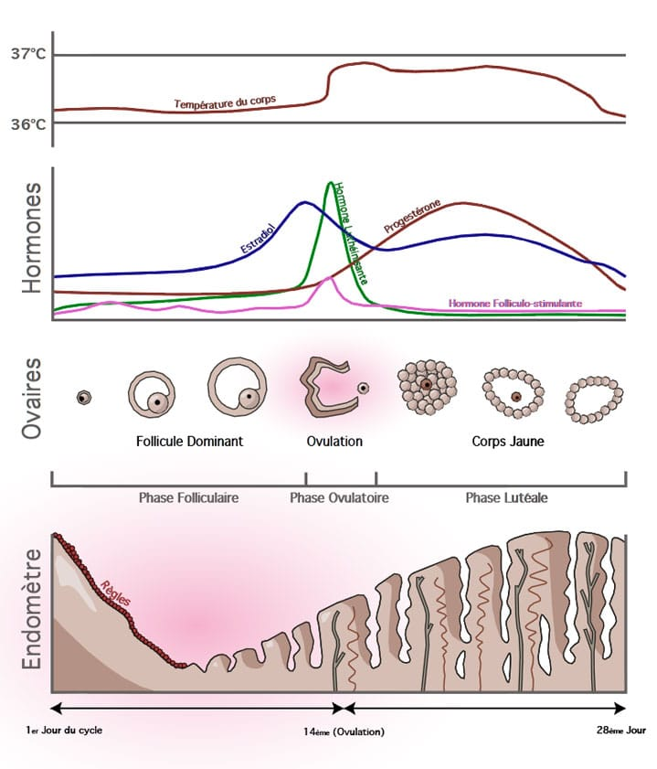 le cycle menstruel avec évolution des hormones, des ovaires et de l'endomètre