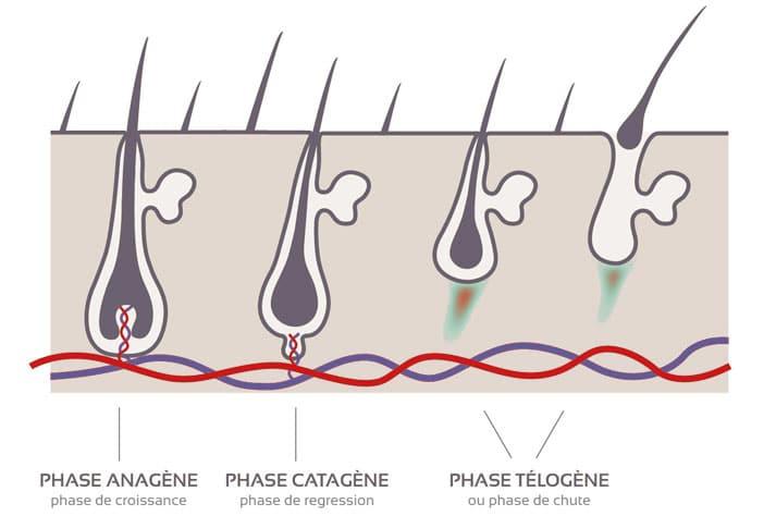 Le cycle du cheveux avec les phases anagène, catagène et télogène