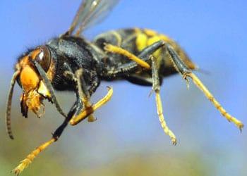 Les allergies aux venins d'animaux (frelons, guêpes, serpents, scorpions...)