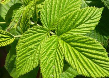 Les feuilles de framboise ont de multiples vertus médicinales