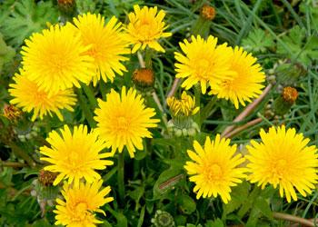 Le pissenlit, une plante médicinale très commune